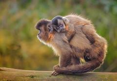 Carry Me Home (Osgoldcross Photography) Tags: nature monkey nikon raw child young social naturalhistory sibling primate carry capuchinmonkey capuchin pinmonkey cebusapella neotropics nikond7000 southlakessafarizoo tuftedcupuchin