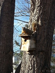 January 25, 2015 - A squirrel enjoys the mild weather in Thornton.  (LE Worley)