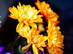 Vivid (David S Wilson) Tags: uk flowers stilllife flower floral flowersplants 2015 davidswilson sonysel35f18 sonya5100