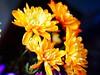 Vivid (David S Wilson) Tags: uk flowers stilllife flower floral flowersplants 2015 davidswilson sonysel35f18 sonya5100