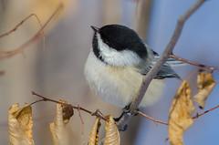Black-capped chickadee (RemLau) Tags: bird nikon 300mm ii tc nikkor f4 teleconverter afs ifed tc14e f4d d7000