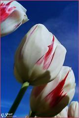 LE PRINTEMPS DES TULIPES (Gilles Poyet photographies) Tags: fleurs soe auvergne puydedme clermontferrand autofocus tulipes aplusphoto artofimages parcdemontjuzet rememberthatmomentlevel1