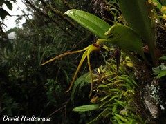 Masdevallia sp. in situ, 3000 m snm, Cauca, Colombia (David Haelterman) Tags: colombie colombia america amrique amrica tropiques tropicos tropical trpics sudmerica amriquedusud southamerica amricadelsur orchid orchide orqudea orchidaceae plant planta plante flor fleur flower