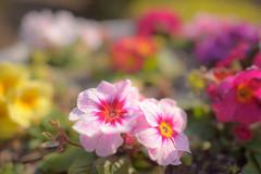 Flowers - D3s & Nikkor 24mm f/1.4G (TORO*) Tags: park pink red sunlight flower green yellow japan ed nikon shine purple f14 14 violet osaka 24 24mm af nikkor afs tsurumi ryokuchi f14g d3s