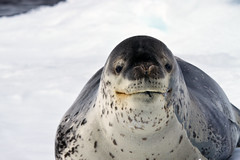 A Seal Crossed with a Dinosaur (jpmckenna - Northern Plains Tour Coming Up) Tags: snow ice antarctica seal hopebay leopardseal hydrurgaleptonyx zodiaccruising
