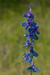 Delphinium carolinianum (Eric Hunt.) Tags: blue flower purple delphinium ranunculaceae delphiniumcarolinianum prairielarkspur plainslarkspur