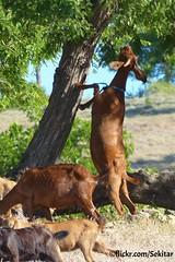 Kambing sekitar Namata, Sawu (Sekitar) Tags: indonesia island goat pulau kambing nusa ntt sabu namata nusatenggara savu sekitar sawu nusatenggaratimur