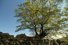 Haya en primavera (Txaro Franco) Tags: mountain tree primavera spring rbol montaa arbre bizkaia printemps beech vizcaya haya parke fagus mendia zuhaitza pagoa udaberria urkiola naturala parquenaturaldeurkiola urkiolakoparkenaturala