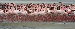 Flamingo-pequeno // Lesser Flamingo (http://jvverde.birdsby.me/v2/) Tags: africa wild bird nature birds natural wildlife natureza birding pssaro aves ave namibia pssaros oiseau bir vogel pjaro avifauna uccello birdwatch selvagem  lintu frica wildbird   lesserflamingo phoenicopterusminor  madr phoeniconaiasminor     nambia onwild emliberdade flamingopequeno aoarlivre  nanatureza uccelloaves