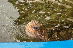 SE_Ubatuba0311 (Visit Brasil) Tags: horizontal brasil fauna ubatuba sopaulo natureza cultura detalhe externa sudeste semgente projetotamar diurna brasil|sudeste brasil|sudeste|sopaulo brasil|sudeste|sopaulo|ubatuba brasil|sudeste|sopaulo|ubatuba|projetotamar