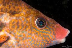 5K1A0685.jpg (edouardfourcade) Tags: color macro underwater plonge hendaye photosub