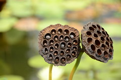 Lotus Pods (RadarRange) Tags: asheville biltmore