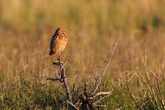 Burrowing Owl (Camera-Tales) Tags: bird nature utah wildlife antelopeisland owl perched burrowingowl