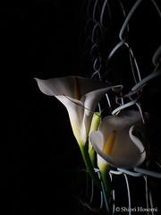 Zantedeschia (Shiori Hosomi) Tags: flowers plants japan night tokyo nocturnal nightshot calla may  araceae callalily  zantedeschia  2016     noctuary alismatales  flowersinthenight noctivagant  23