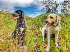 Shiloh and Cassie conquering another hill. (Jake McGee) Tags: california dogs husky labrador hiking adventure