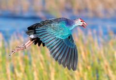 20160505-_Q6I0123.jpg (Lake Worth) Tags: bird nature birds animals florida outdoor wildlife wing feathers wetlands everglades waterbirds southflorida birdwatcher nimal canonef500mmf4lisiiusm canoneos1dxmarkii