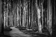 Where Is Little Red Riding Hood? (macrobernd) Tags: nienhagen gespensterwald spookyforrest sw bw schwarzweis blackwhite bume trees wald forrest gespenster kste kstenwald buche buchen