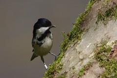 IMGP9483 Coal Tit, The Lodge, Sandy, April 2016 (bobchappell55) Tags: wild bird nature tit wildlife sandy reserve coal thelodge rspb