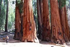 Sequoias: The Senate (daveynin) Tags: forest nps trail bark sequoia marlena giantforest