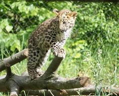 DSC06934 (Ed McKaveney) Tags: zoo cub pittsburgh leopard