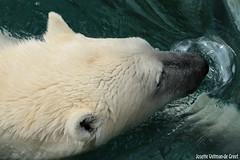 Ijsberen, Wildlands-7567 (Josette Veltman) Tags: zoo arctic ijsbeer icebear emmen dierentuin icebears noordpool roofdier wildlands ijsberen