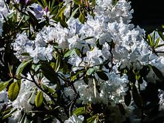 P1010999 (sebastiang2) Tags: park macro nature garden outdoor royal poland polska baths warsaw makro flover warszawa kwiaty flovers kwiat azienki krlewskie fz72