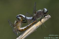 Scarce Chaser - Libellula fulva  (Mller, 1764) ( BlezSP) Tags: sicily sicilia scarcechaser bluechaser libellulafulva fiumesimeto