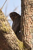 Indische Bosuil (Robbert met dubbel B) Tags: park wood india nature wildlife indian safari national owl april mottled 2016 indische nationaal tadoba bosuil wildphotography wildfotografie