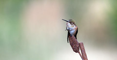 BR5A6585-2 (lynne186) Tags: bird nature pose hummingbird wildlife scratch