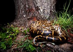 Burmese Python (Nick Scobel) Tags: nature florida wildlife exotic everglades species python burmese invasive molurus