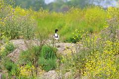 le de R 74 - dans la Rserve Naturelle de Lilleau des Niges, un Tadorne de Belon (paspog) Tags: france island duck insel canard r le leder tadornedebelon rservenaturelledelilleaudesniges