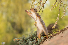 want that (Geert Weggen) Tags: light red summer plant flower tree cute nature animal yellow closeup pine mammal happy rodent moss spring squirrel funny branch bright seed ground willow reach hold geert perennial grap weggen ilobsterit hardeko
