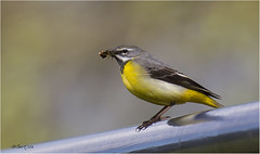 Grey Wagtail 030516(13) - in Explore #103 (Gertj123) Tags: food bird nature netherlands birds animals yellow spring bokeh regge