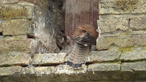 Turmfalkenfütterung: Mit Federn