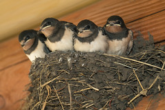 Swallows in a nest (noor.khan.alam) Tags: life family summer baby bird nature birds animal yellow chorus barn open nest feeding young chicks hungry feed demanding swallow beg swallows brood nestling rustica russianfederation hirundo unfledged