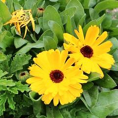 Mar_0565 (Joanbrebo) Tags: barcelona flowers flores fleur blossom blumen fiori flors autofocus glries efs18135mmf3556is canoneos70d