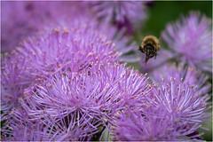 Incoming (JayTeaUK) Tags: hampshire bee nationaltrust hovering westgreengarden