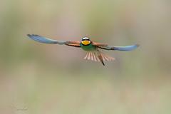 Face  face (isobel333) Tags: birds oiseaux camargue meropsapiaster europeanbeeeater gupiersdeurope