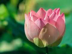 Kissed by the sun (Sergio '75) Tags: italy naturaleza sunlight flower nature sergio june canon flora italia dof natural bright lotus natur naturallight natura loto suiren hasu nelumbo ef70200mmf4lisusm canoneos70d sergio75