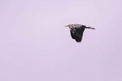 Double Heron (derliebewolf) Tags: sky heron nature germany deutschland wildlife earlymorning sigma bluesky double goldenhour usedom bif greyheron d600 earlybird naur
