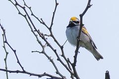 Golden-winged Warbler (J.B. Churchill) Tags: allegany birds gwwa goldenwingedwarbler maryland oldlegislativeroad places taxonomy warblers frostburg unitedstates us