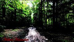 Wald Bilder Impressionen (hubert_hamacher) Tags: blumen grn wald bume baum tannenbaum mammutbaum mammutbume lichtung waldlichtung
