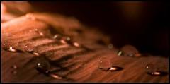 Micro king (ELtano86) Tags: macro drops drop dew micro fiore rugiada goccia gocce eltano86
