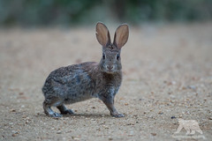 Rabbit (fascinationwildlife) Tags: california county wild summer orange usa rabbit nature animal america mammal san wildlife tail natur cotton joaquin sanctuary irvine kaninchen refuge