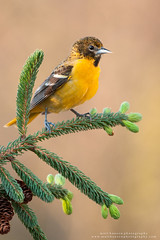 Baltimore Oriole (www.matthansenphotography.com) Tags: flowers color bird nature animal pine sunrise pose spring dynamic vibrant wildlife evergreen perch pinecone avian budding songbird baltimoreoriole oriole bodyangles matthansenphotography