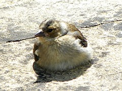 The sunbather (Martha-Ann48) Tags: bird fledgling chick baby feathers plumage chaffinch fluffy cute sunbathing patio garden sunshine