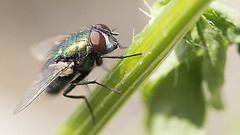 Blowfly over the Stem(Greenbottle) (Johnnie Shene Photography(Thanks, 1Million+ Views)) Tags: wild people plant blur colour macro nature animal horizontal closeup canon bug insect lens wonder photography eos rebel living fly interesting stem focus kiss natural image outdoor no background wildlife tranquility 11 blow full theme modified resting magnified awe length tamron 90mm greenbottle f28 tranquil adjustment freshness foreground t3i x5 blowfly diptera organism perching fragility   600d    dipteras