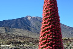 Los tajinastes rojos del Teide. (yayolorenzo) Tags: rojo tajinaste
