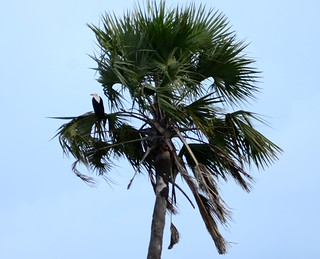 Perched Fish Eagle