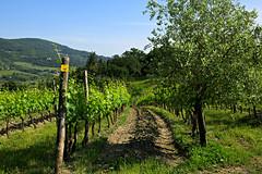 All I Ask! :) (LaDani74) Tags: vineyard spring wine country hills campagna tuscany toscana grape vino vite sangiovese vigneto vigna